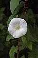Hedge bindweed, Dibbinsdale LNR.jpg