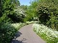 Heinis, bloeiend fluitenkruid en meidoorn- flowering wild chervil and hawthorn - panoramio.jpg
