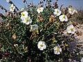 Helianthemum marminorense2.jpg
