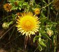 Helichrysum aureum, blomhoof, a, Groenkloof NR.jpg
