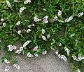 Heliotropium curassavicum Cambria CA (cropped).jpg