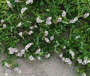 Heliotropium curassavicum - Image: Heliotropium curassavicum Cambria CA (cropped)