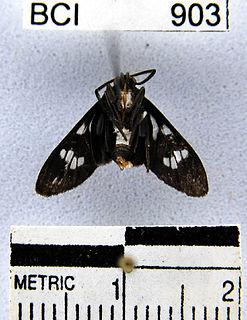 <i>Heliura</i> Genus of moths