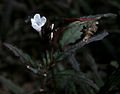 Hemigraphis repanda (Narrow leaf hemigraphis) W IMG 1505.jpg