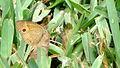 Henotesia narcissus (8115665991).jpg