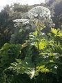 Heracleum mantegazzianum 001.JPG