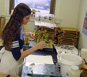 Herbarium - Preparing a plant for mounting
