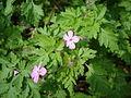 Herb Robert - Geranium robertianum - geograph.org.uk - 1260616.jpg