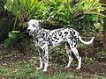 Hermoso perro dalmata en zona rural de Buga.JPG
