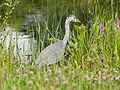 Heron (14357489056).jpg