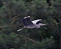 Heron flying past (7690456266).jpg