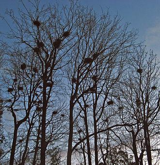 Heronry - Heronry in Stanley Park, Vancouver, British Columbia, Canada.