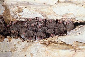 Hibernating southeastern myotis
