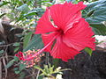 Hibiscus from Kerala, India 07.JPG