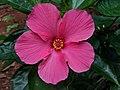 Hibiscus rosa-sinensis 21.jpg