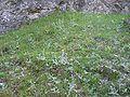 Hieracium villosum (Habitat).jpg