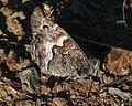 Hipparchia cypriensis (Cyprus Grayling) - Flickr - S. Rae (2).jpg