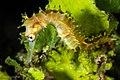 Hippocampus histrix (14094136095).jpg