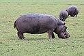 Hippopotamus in Chobe National Park 02.jpg