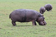 Hippopotamus in Chobe National Park 02