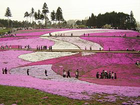 Hitsujiyama-park Phlox subulata 2005.jpg