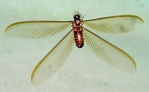Hodotermitidae - H. mossambicus alate