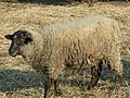 Hog Island sheep at Mt Vernon.jpg