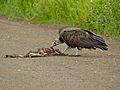 Hooded Vulture (Necrosyrtes monachus) (13646076615).jpg