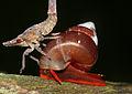 Hopper Nymph (Id ?) walking over Land Snail (Schistoloma anostoma) on the hand rail ... (15510731151).jpg