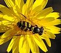 Hoverfly October 2007-8.jpg