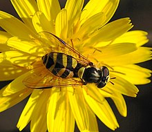 Entomophily - Wikipedia