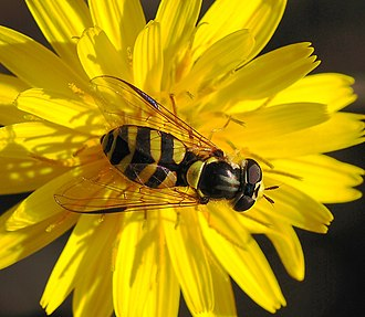 Entomophily - Female hoverfly Dasysyrphus albostriatus