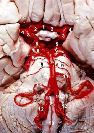 Pontine arteries - Image: Human brainstem blood supply description