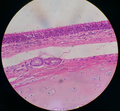 Human pseudostratified ciliated columnar epithelium 13.png