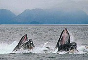 A pair of Humpback Whales feeding by lunging.