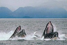 A pair of humpback whales lung-feeding.