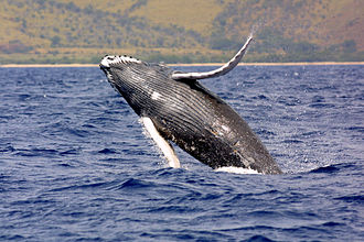 Bohr effect - Though they are one of the largest animals on the planet, humpback whales have a Bohr effect magnitude similar to that of a guinea pig.