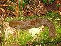 Hunting Orange bellied Squirrel IMG 9390 01.jpg