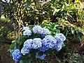 Hydrangea macrophylla Su.jpg