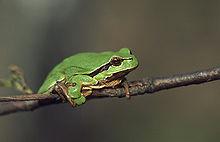 Petite grenouille verte dans GRENOUILLE 220px-Hyla_arborea_%28Marek_Szczepanek%29