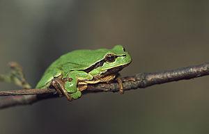 European tree frog - Image: Hyla arborea (Marek Szczepanek)