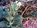 Hyoscyamus albus Stem ParqueNaturalLagunadelaMata.jpg