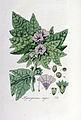 Hyoscyamus niger — Flora Batava — Volume v5.jpg