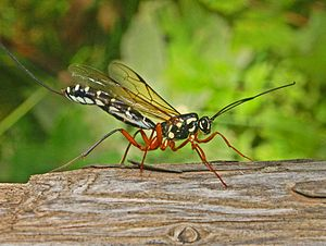 Natural Theology or Evidences of the Existence and Attributes of the Deity - Paley mentions the ovipositors of insects such as ichneumons, able to lay eggs deep in wood.