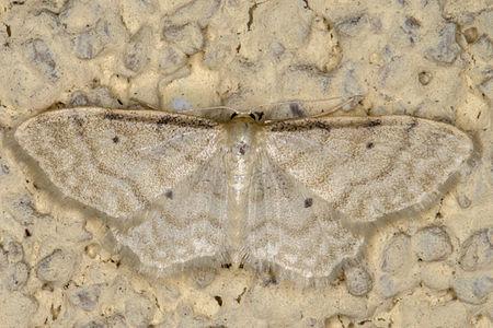 Idaea fuscovenosa, Lodz(Poland)01(js).jpg