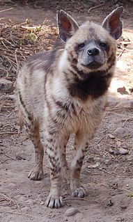 Striped hyena the only living species of hyena in Asia