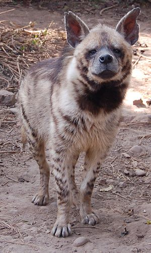 Striped hyena - Striped hyena at a zoo in Nepal