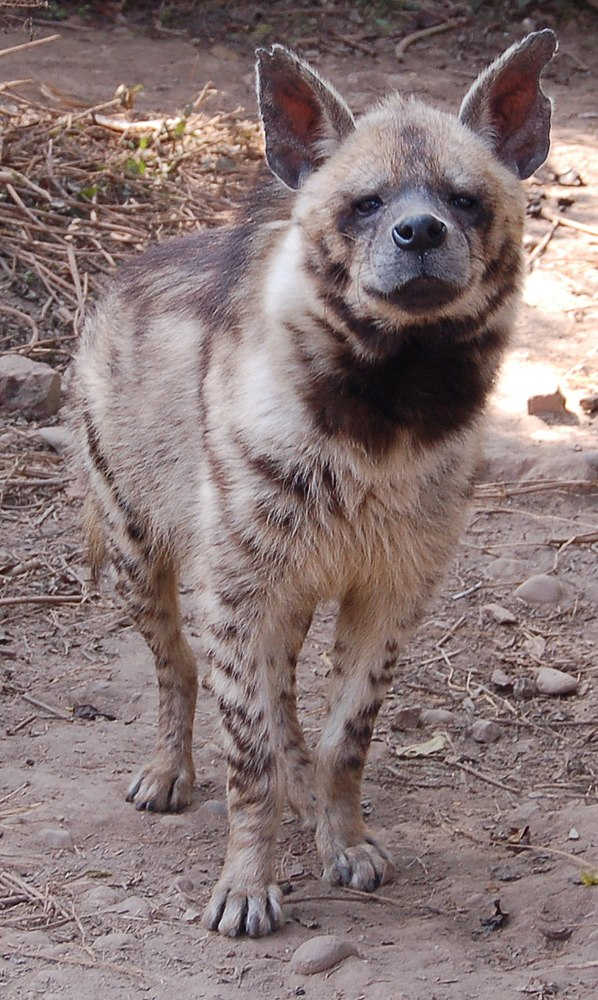 A Striped hyena gets as old as 24 years