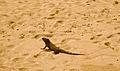 Iguana-in-Isla-Iguana-Wildlife-Refuge-Panama.jpg