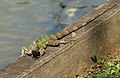 Iguana IX.jpg